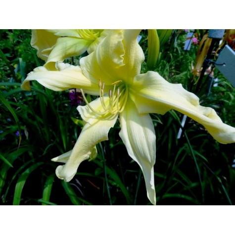 Tagliliensortiment in Gelb Symbolfoto