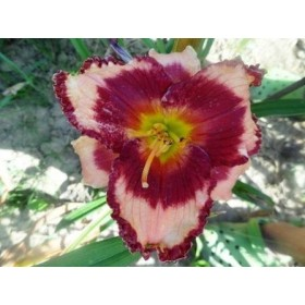Tagliliensortiment geäugte Blüten Symbolfoto